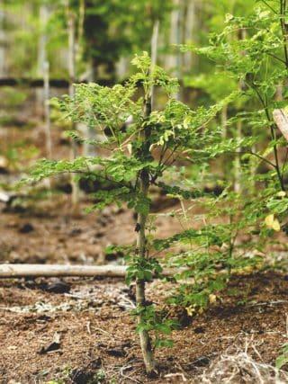 moringa plante arbre