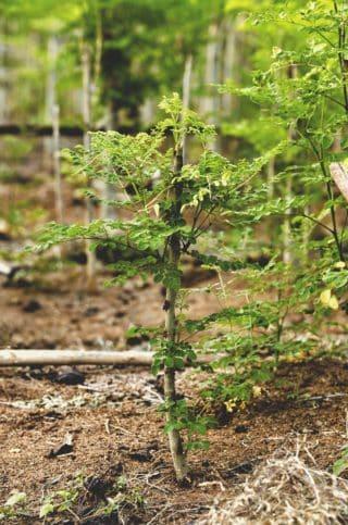 moringa c'est quoi ? le moringa plante arbre