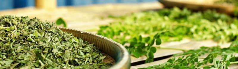 feuilles de moringa fraîches et séchées