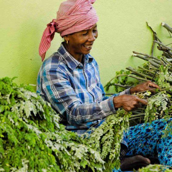 récolte moringa villageoise