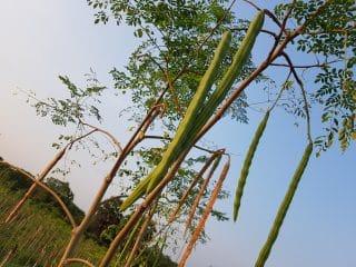 arbre de Moringa avec gousse